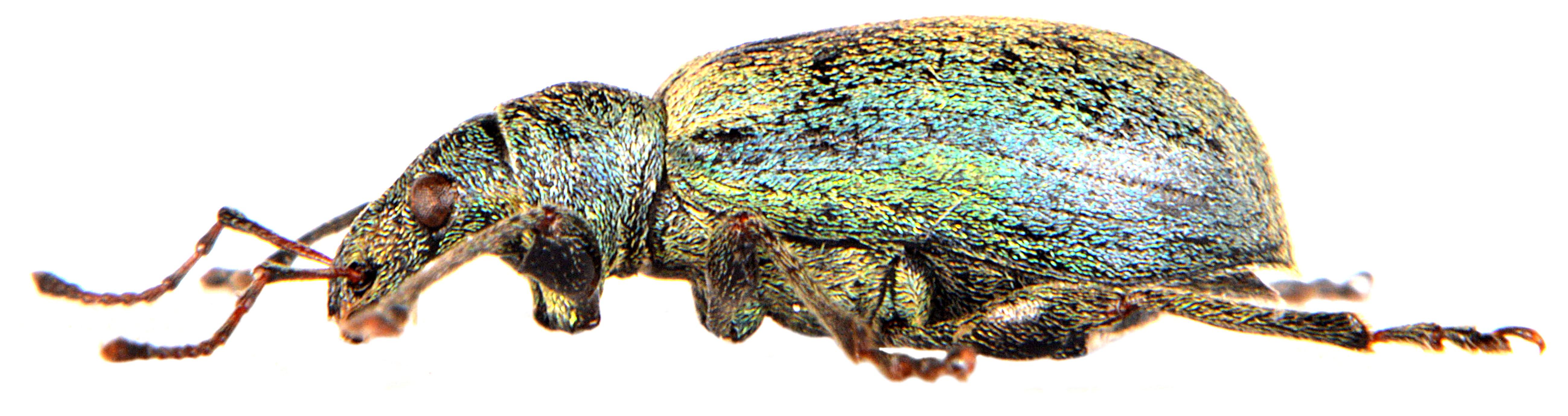 Phyllobius pomaceus 3