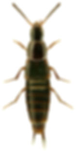Heterothops dissimilis.jpg
