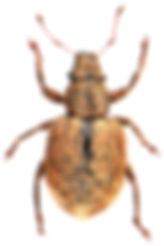 Strophosoma melanogrammum 3.jpg