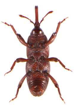 Sitophilus granarius 3