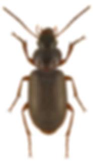 scybalicus_oblongiusculus_1.jpg
