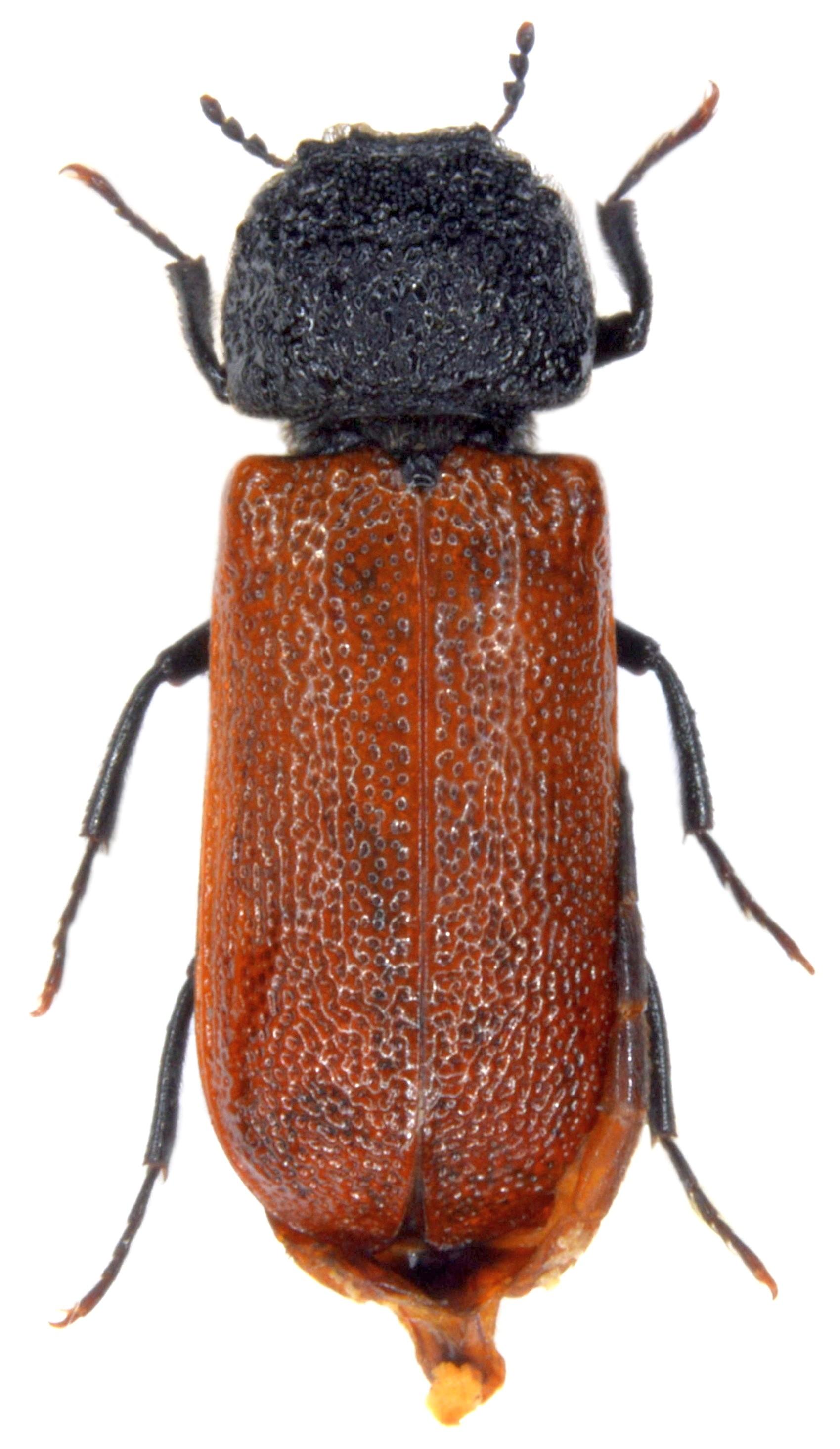 Bostrichus cappucinus 2
