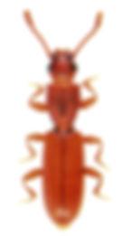 Silvanus unidentatus 1.jpg