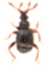 Reichenbachia juncorum 1.jpg