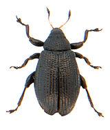 Rhamphus pulicarius.jpg