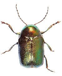 Cryptocephalus hypochaeridis.jpg