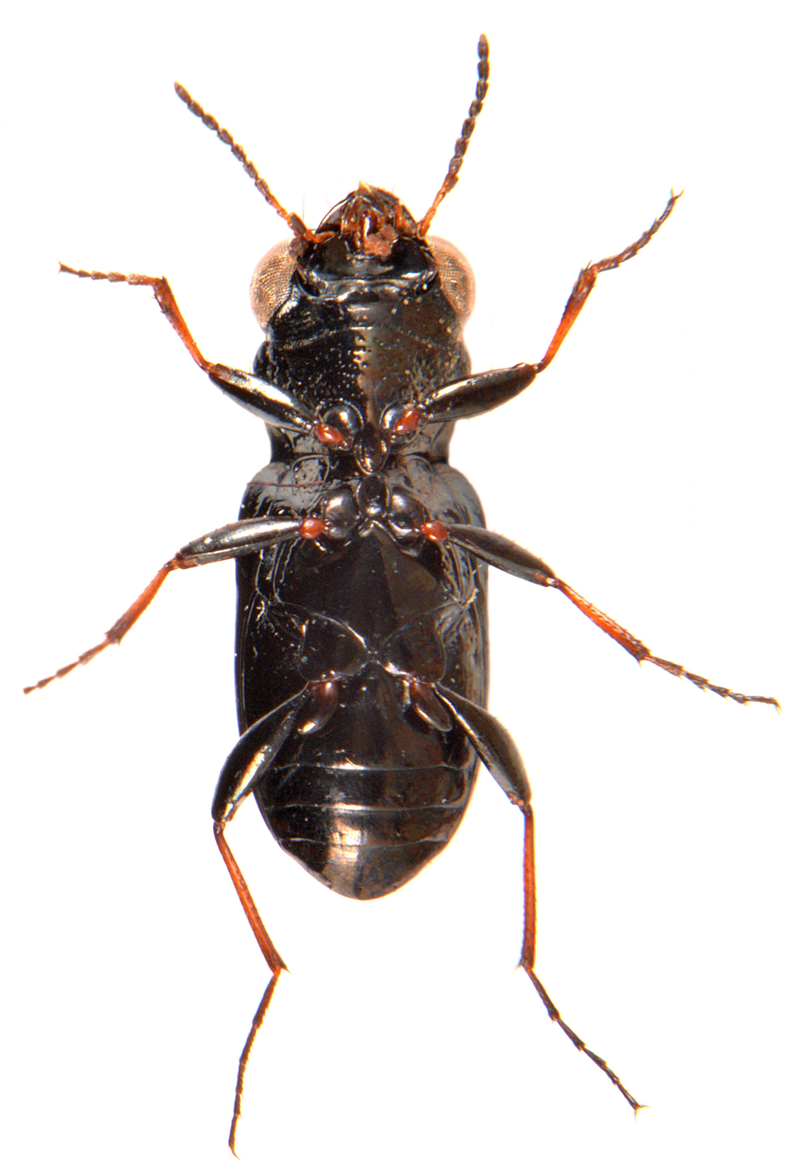Notiophilus biguttatus 4