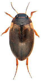 Hydroporus marginatus 1.jpg