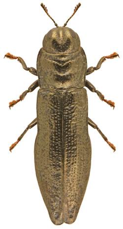 Aphanisticus emarginatus