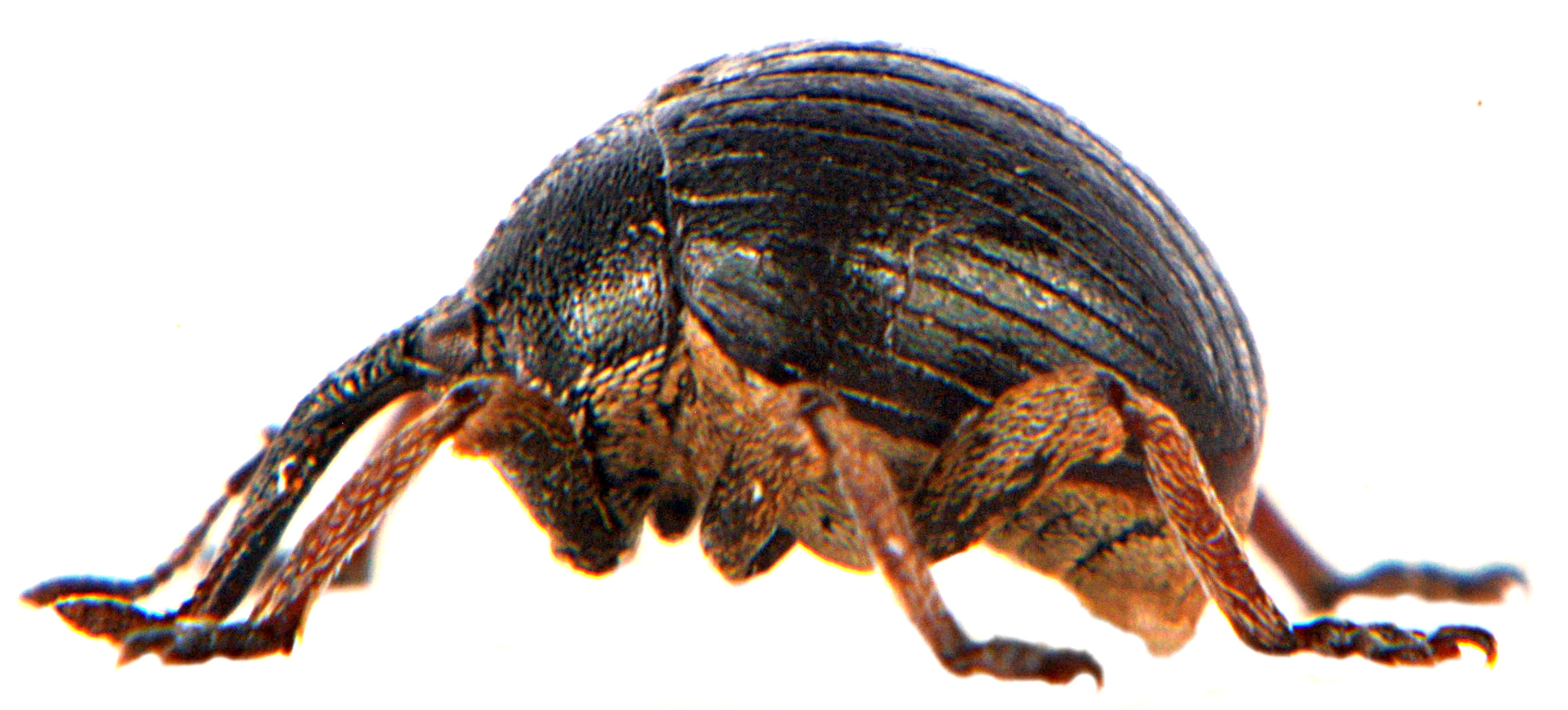 Orobitis cyaneus 2