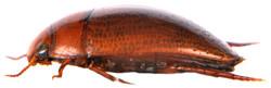 Noterus crassicornis 3