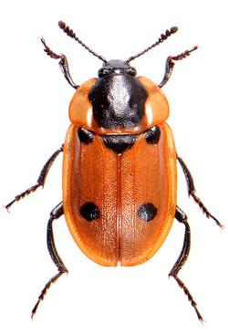 Dendroxena quadrimaculata 1