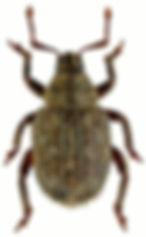 Caenopsis waltoni.jpg