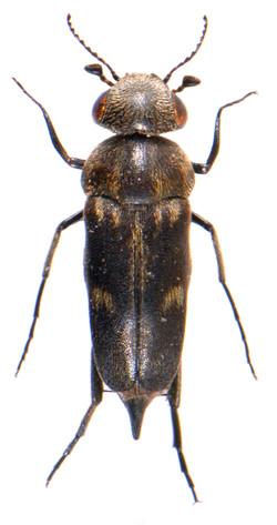 Tomoxia bucephala 3