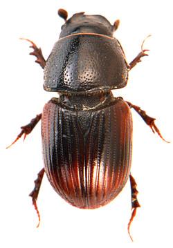 Otophorus haemorrhoidalis 1