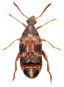 Callosobruchus maculatus 3