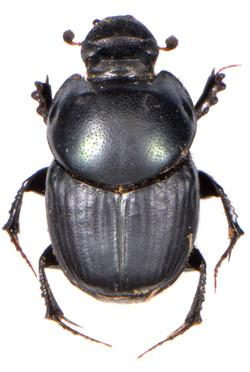 Onthophagus taurus 2