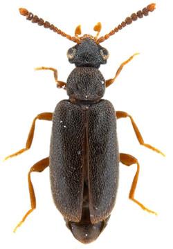 Vanonus brevicornis 1