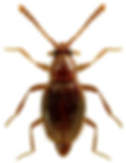 Euthiconnus conicicollis.jpg