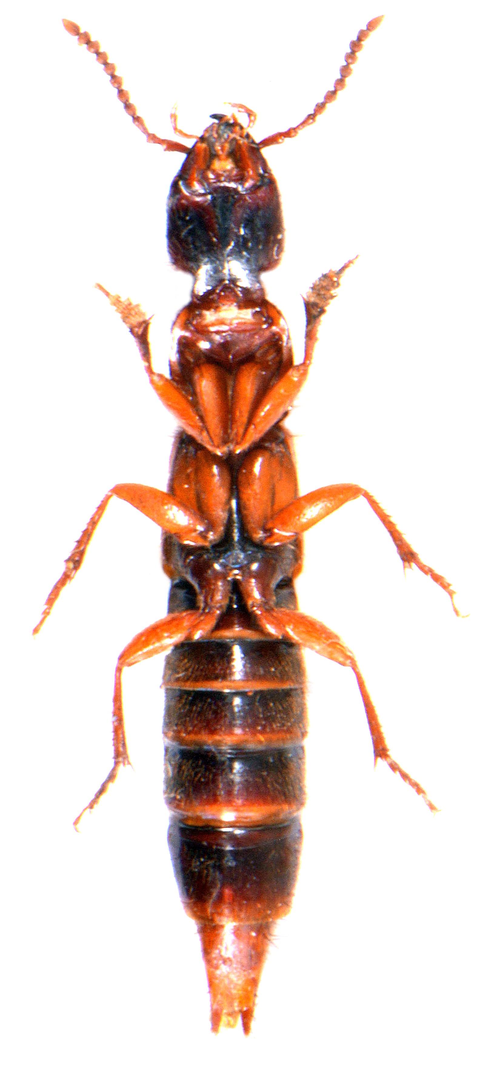 Othius punctulatus 3