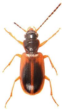 Anthracus consputus 1.jpg