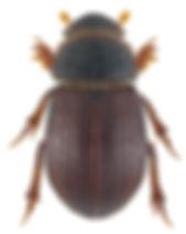 Diastictus vulneratus 1.jpg