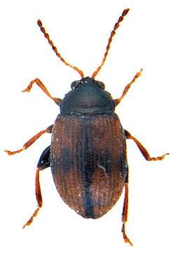 Epitrix atropae 2