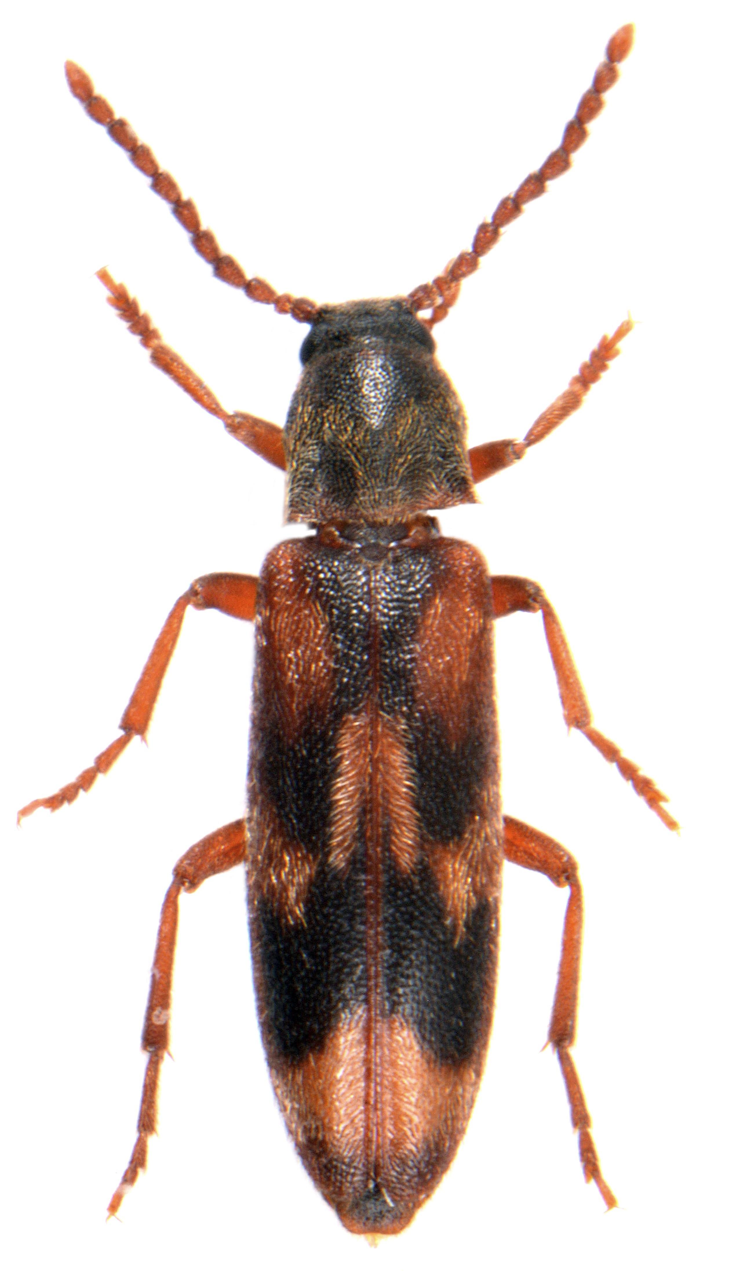 Hypulus quercinus 1