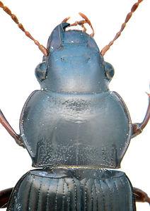 Curtonotus aulicus thorax.jpg