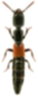 Gauropterus fulgidus.jpg
