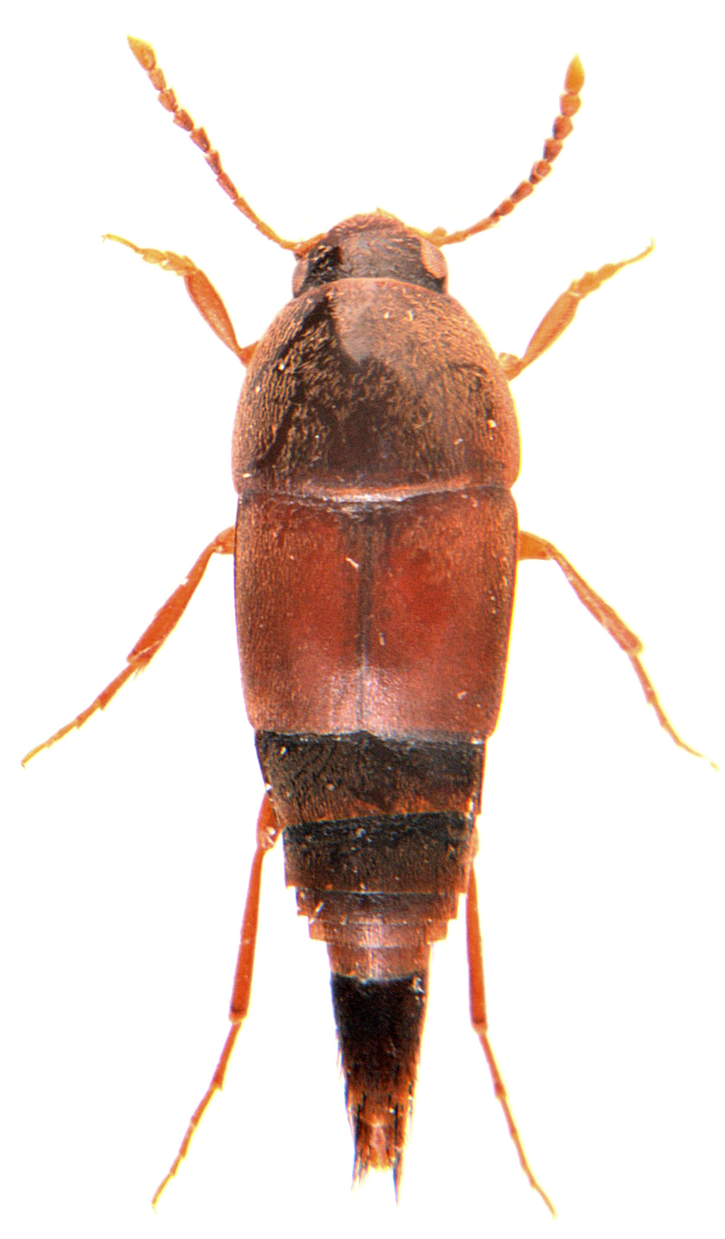 Sepedophilus marshami 2