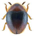 Corylophus cassidoides 2.jpg