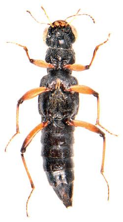Stenus bimaculatus 4