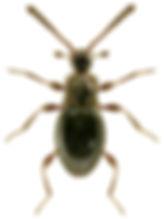 Euconnus fimetarius.jpg