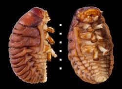 Timarcha tenebricosa larva