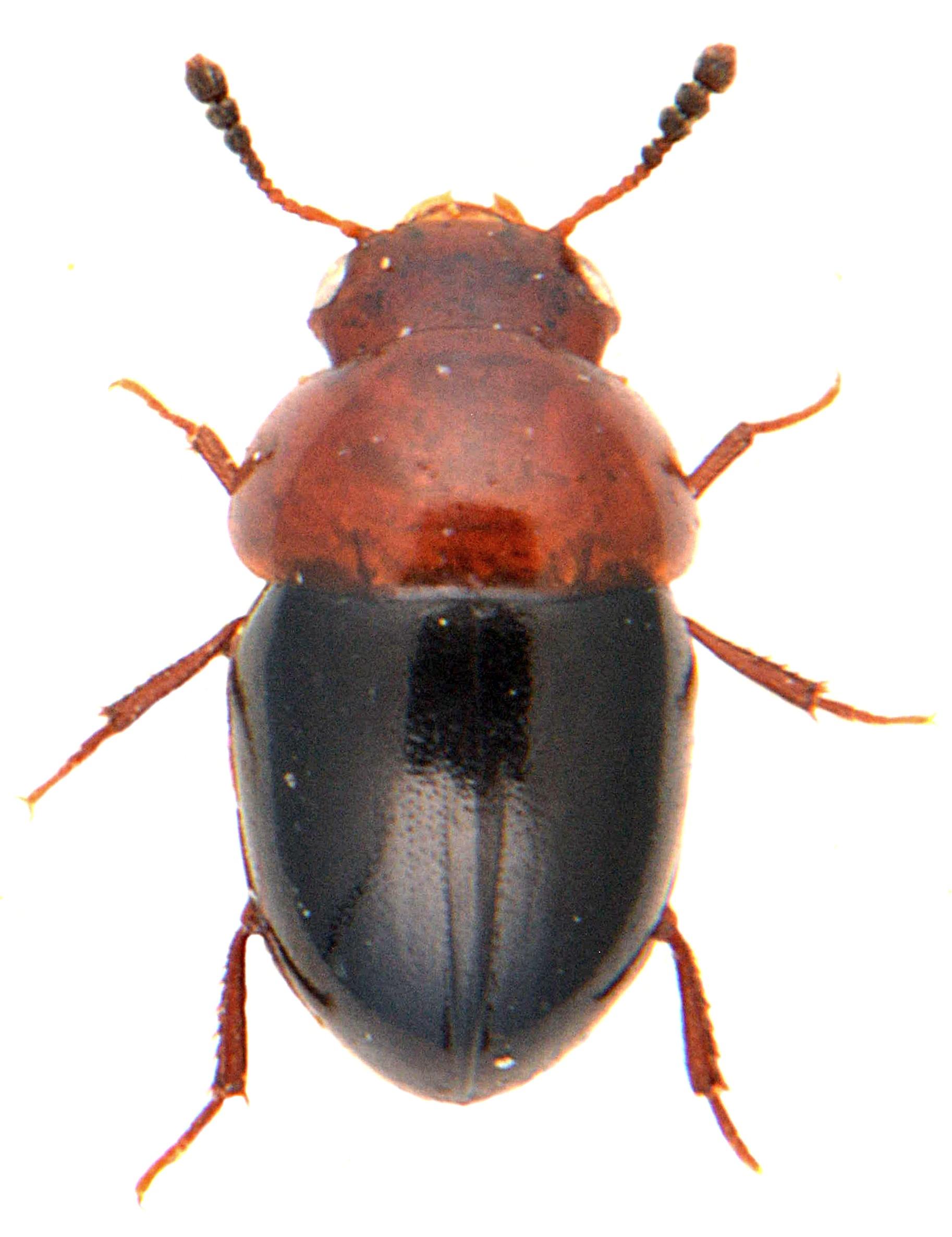 Agathidium nigripenne 1