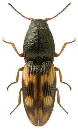 Negastrius sabulicola