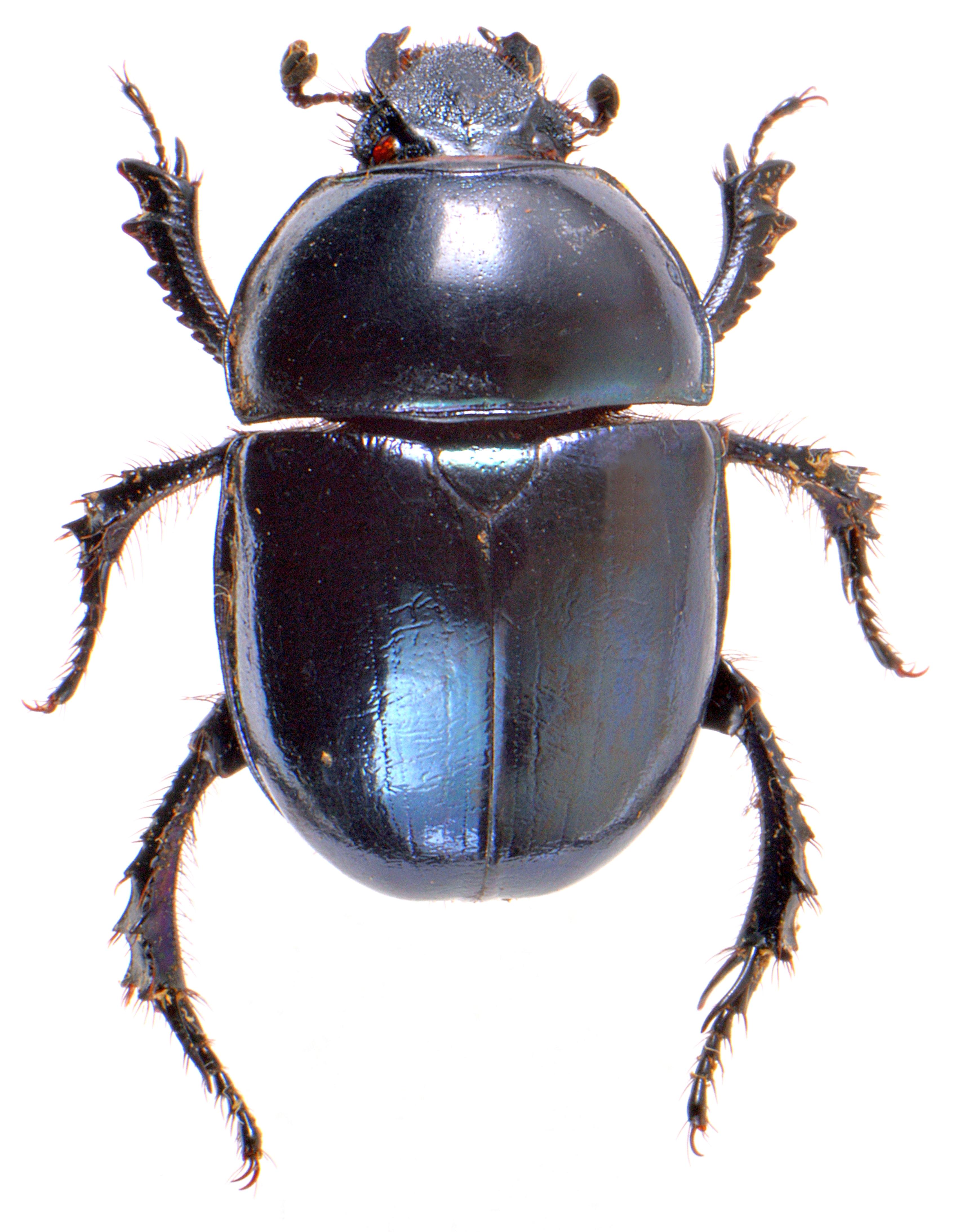 Trypocopris pyrenaeus 2