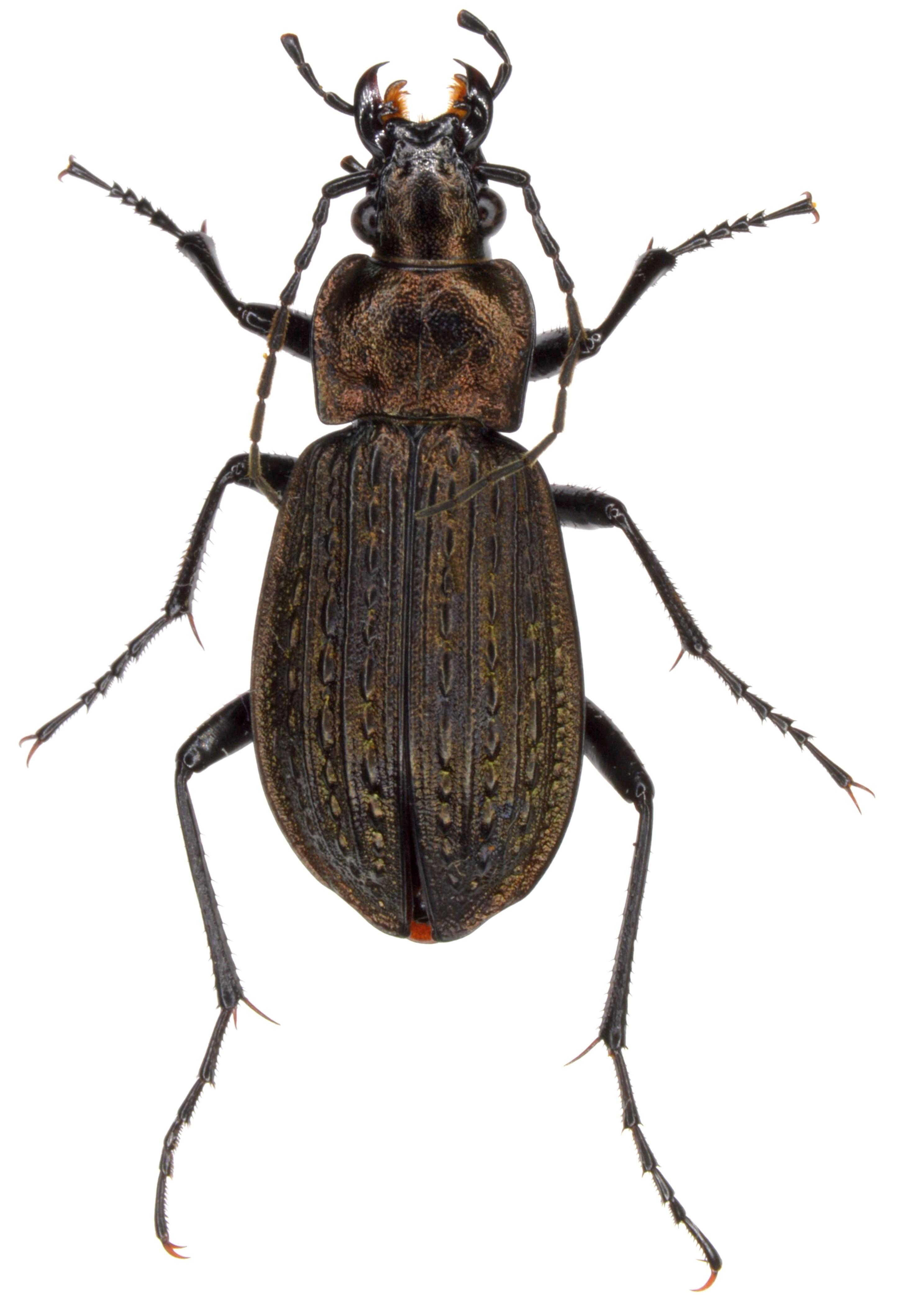 Carabus granulatus ♀