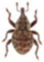 Acalles ptinoides.jpg