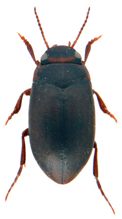 Hydroporus memnonius