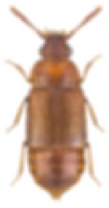 Hapalaraea pygmaea.jpg