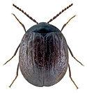 Eubria palustris 2US.jpg