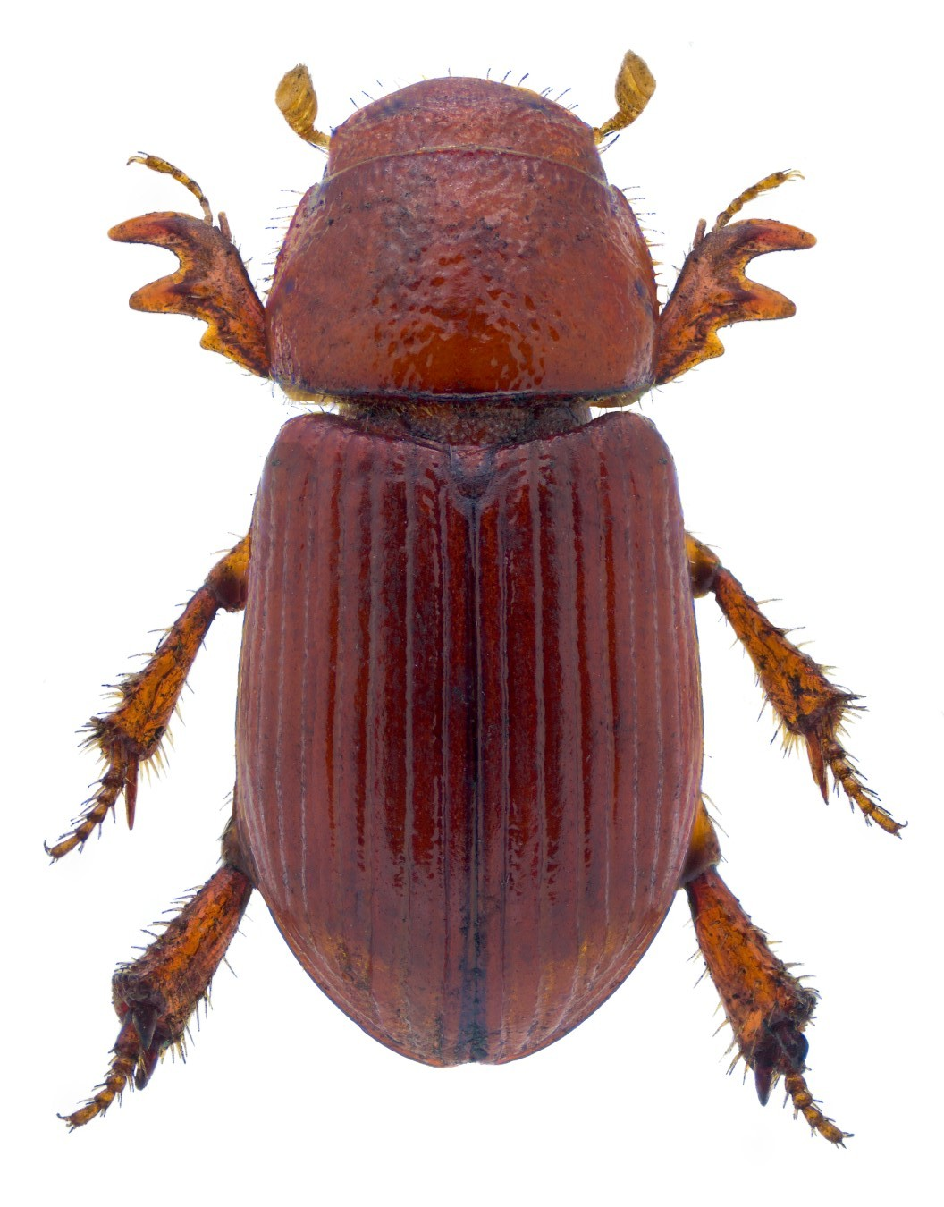 Rhysothorax rufa