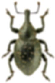 Liparus germanus.jpg