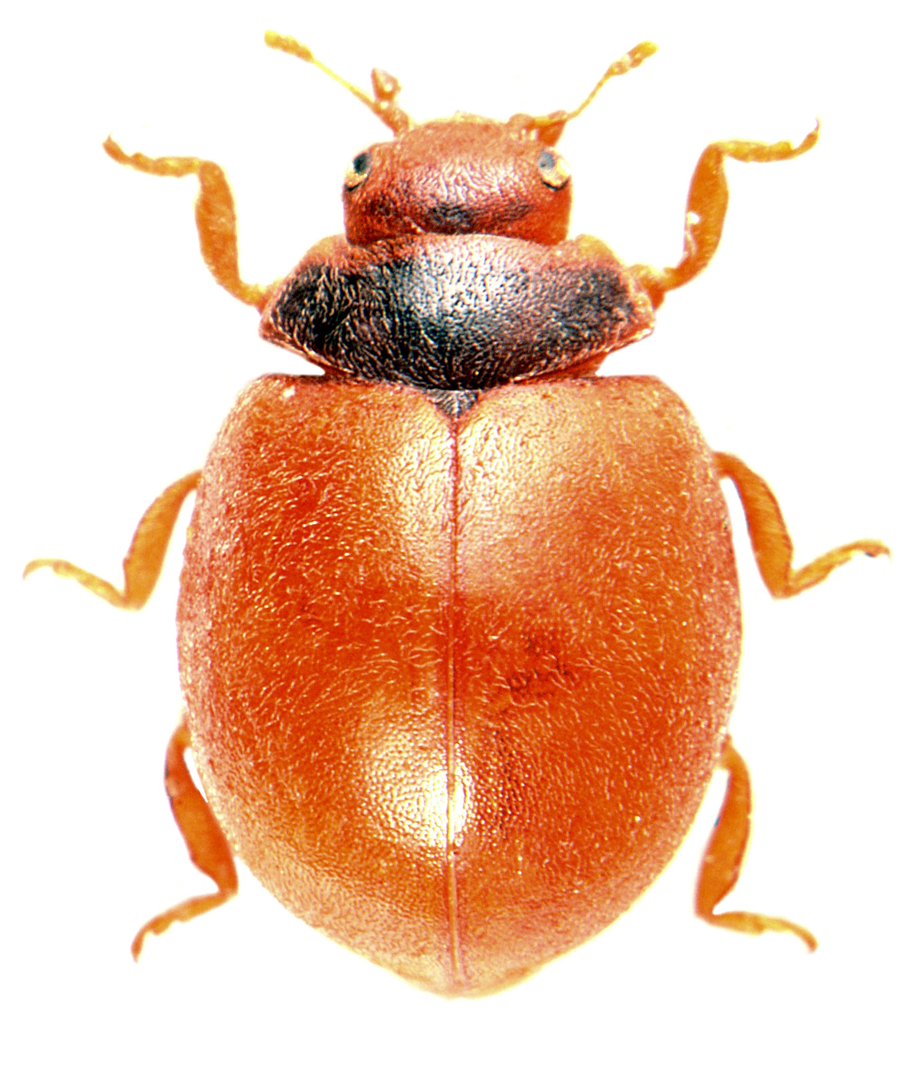 Subcoccinella vigintiquatuorpunctata 2