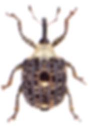 Cionus scrophulariae 1.jpg