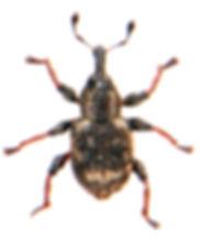Tanysphyrus lemnae 1.jpg