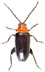 Luperomorpha xanthodera.jpg