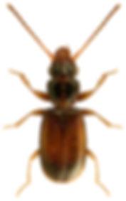 Perileptus areolatus.jpg